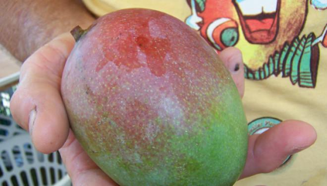 Mango Mania in Florida