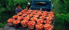 In Praise of Peaches