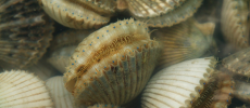 Diving For Scallops in Gulf County