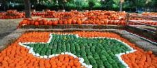 Dallas Arboretum Displays Record Number of Pumpkins